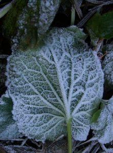 Frosty Butterbur leaf, St Boswells, Scottish Borders